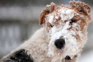 A fine snow covers a dog playing on the